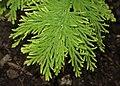 Selaginella pallescens var. aurea kz07.jpg