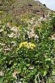 Senecio angulatus kz5.jpg