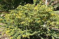 Senna polyphylla 28zz.jpg