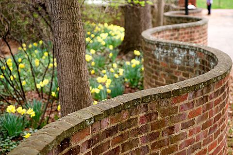 One of the serpentine walls Serpentine wall UVa daffodils 2010.jpg