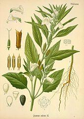 Sezam indický (Sesamum indicum)