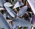 Setcreasea purpura 1.JPG