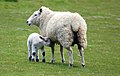 Sheep, Dedham.jpg