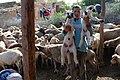Sheep red.jpg