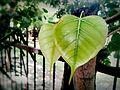 Shiny Leaf.jpg