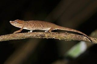 <i>Calumma fallax</i> Species of lizard