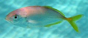 Shrimp scad - Image: Shrimp scad taxobox