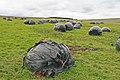 Silage bales in pasture above Slitt Mine - geograph.org.uk - 530945.jpg