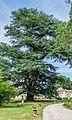 Silhouette of Cedrus libani.jpg