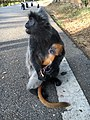 Silver langur with baby.jpg