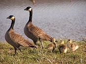 Small Cackling Goose Brood.jpg