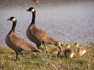 Cackling goose - B. h. minima family