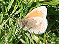 Small Heath Butterfly (Coenonympha pamphilus) - geograph.org.uk - 474684.jpg