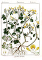 Smithia blanda Rungiah.jpg