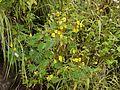 Smithia setulosa Dalzell (6226515663).jpg