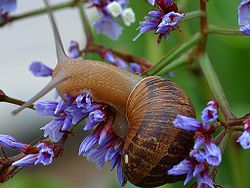 Helix aspersa: a European pulmonate land snail which has commonly been accidentally introduced in many countries throughout the world.