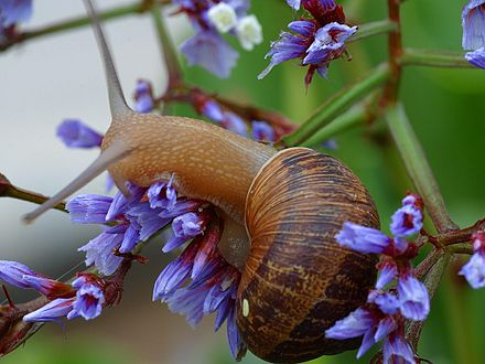 Cornu aspersum (formerly Helix aspersa): a European pulmonate land snail that has been accidentally introduced in many countries throughout the world. Snail1web.jpg