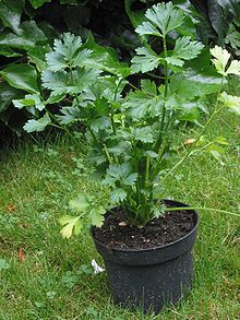 220px Snijselderij Apium graveolens Celery