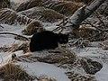 Snow Panther (31887032604).jpg