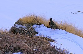 Snow Partridge on the way to Tungnath.jpg