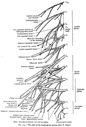 Sacral spinal nerve 1 - The plan of the lumbosacral plexus