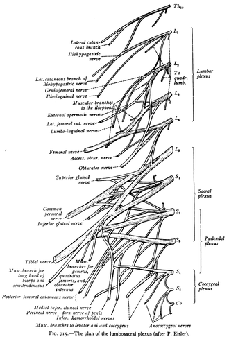 Sacral spinal nerve 3 - The plan of the lumbosacral plexus