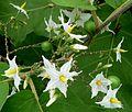 Solanacea - Flickr - gailhampshire.jpg