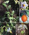 Solanum baretiae composite figure.jpeg