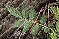 Solanum jamesii - Flickr - aspidoscelis (1).jpg