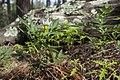 Solanum jamesii - Flickr - aspidoscelis (2).jpg