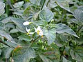 Solanum nigrum FlowersCloseup 27September2009 DehesaBoyaldePuertollano.jpg