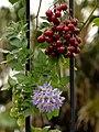 Solanum seaforthianum Flowers and Fruit 1.jpg