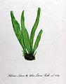 Solenia linza — Flora Batava — Volume v11.jpg