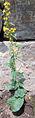 Solidago macrophylla 5.jpg
