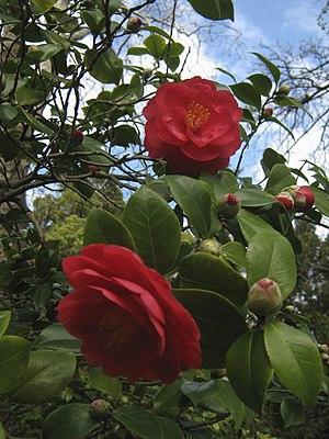 Eben Gowrie Waterhouse - Camellia japonica 'Somersby', Waterhouse 1944