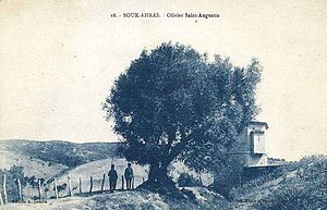 Thagaste - The olive tree that is believed to have been planted by Saint Augustine