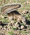 South African Ground Squirrel (Xerus inauris) (31761346273).jpg