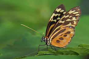 Description de l'image South American butterfly II.jpg.