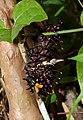 Southern Birdwing Troides minos Caterpillar by Dr. Raju Kasambe DSCN7370 (6).jpg