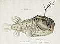 Southern Pacific fishes illustrations by F.E. Clarke 77.jpg