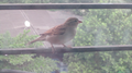 Sparrow -1.png