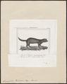 Spermophilus richardsonii - 1700-1880 - Print - Iconographia Zoologica - Special Collections University of Amsterdam - UBA01 IZ20400125.tif