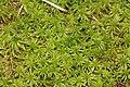 Sphagnum riparium (b, 145622-482723) 0133.JPG