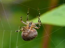 קובץ:Spider web building.webm