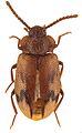 Spinolyprops himalayicus - ZooKeys-243-083-g002-3.jpeg