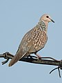 Spotted Dove Spilopelia chinensis by Dr. Raju Kasambe DSCN 2435 (2).jpg