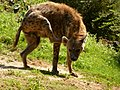 Spotted hyena scratching itself (7657210184).jpg