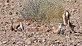 Springboks (Antidorcas marsupialis) resting in the sun ... (47069459452).jpg