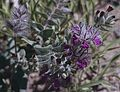 Stachys lavandulifolia + Nonea.jpg