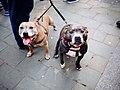Staffordshire Bull Terriers (32501181996).jpg